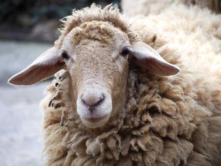 sheeps: Shaggy sheep