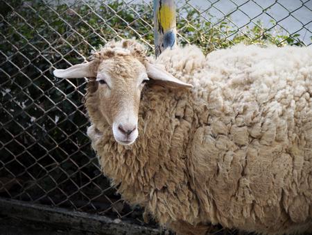 shaggy: Shaggy sheep