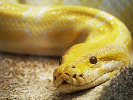 sliding scale: Yellow snake