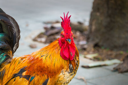 Beautiful rooster photo