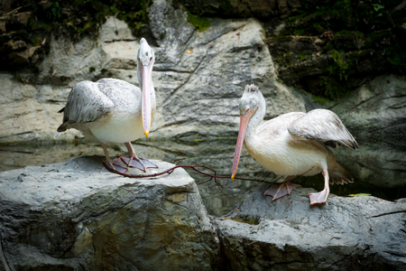 swain: Couple of Pelican