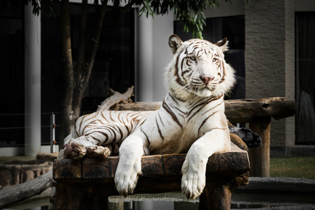 tiger white: White bengal tiger
