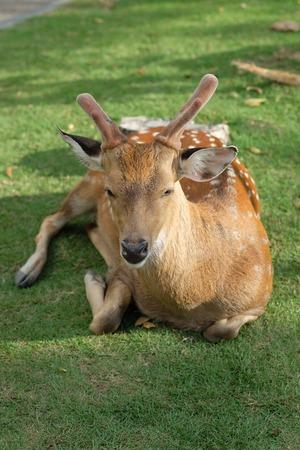 deer spot: The recumbent deer on the ground Stock Photo