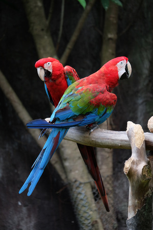 Lovely macaws on the branch photo