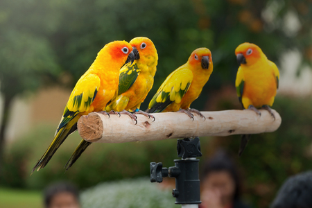 Lovely Sun Conure Parrot on the perch photo