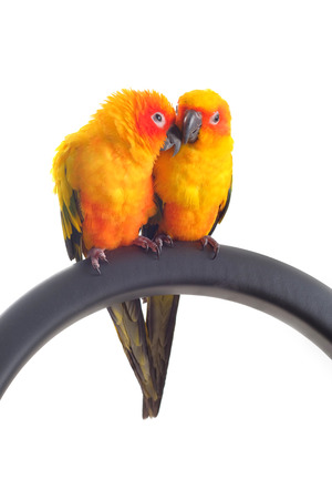 Isolated of lovely Sun Conure in pair photo