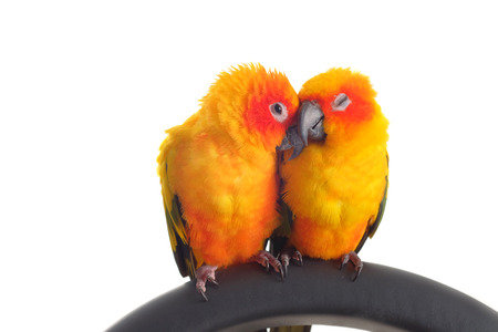 love birds: Isolated of lovely Sun Conure in pair