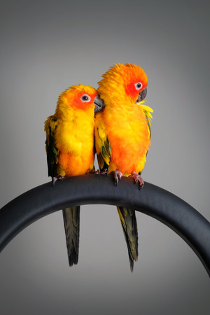 blood parrot: Sun Conure in Gray background
