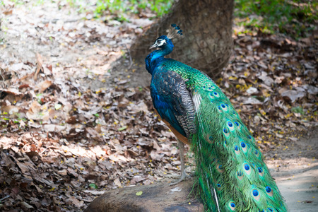 blue peafowl: Beautiful male peacock standing on the big rock Stock Photo