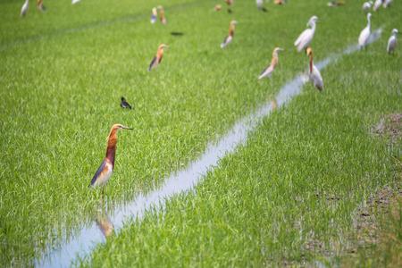 ardeidae: Javan Pond Heron in natural rice farm
