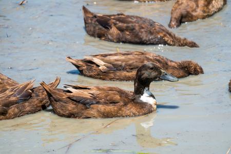 water fowl: Ducks in the water