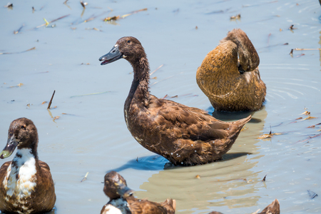 Ducks in the water photo