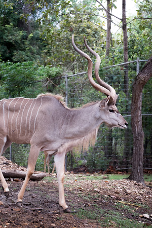 greater: greater kudu standing outdoor
