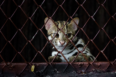 zoo animal: Small leopard behind the grille