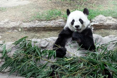 oso panda: Precioso oso panda comiendo bamb�