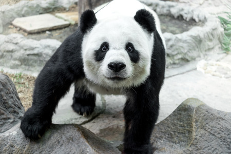 Lovely panda standing on the rock