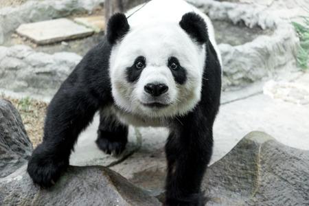 oso panda: Panda encantadora de pie sobre la roca