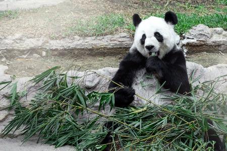 oso panda: Precioso oso panda comiendo bambú