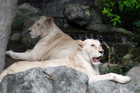 cruel zoo: Female white lion lying on the rock