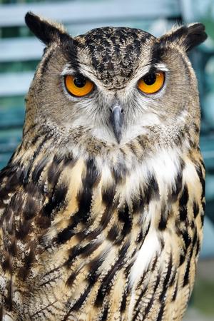 Portrait of brown owl