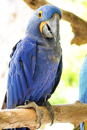 amazon: Portrait of Hyacinth Macaw Parrot