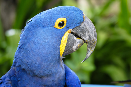 Portrait of Hyacinth Macaw Parrot
