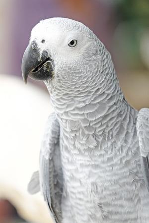 african grey parrot: Portrait of African grey parrot