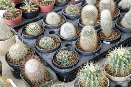 cactus flower: Variety of small beautiful cactus in the pot
