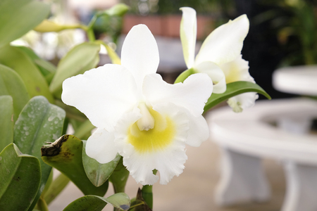 cattleya: Beautiful Cattleya orchid Stock Photo