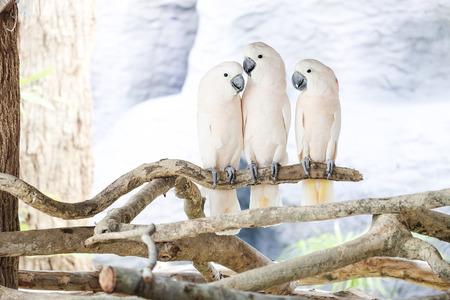 perch: Three Moluccan cockatoo on the perch Stock Photo