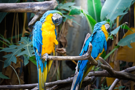 avian: Cute blue and gold macaw in tropical forest