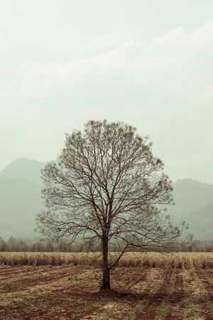 lonely dry tree in field 版權商用圖片