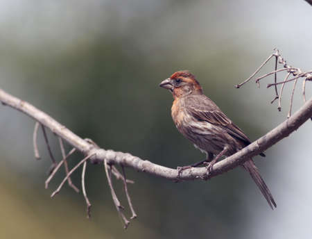 finch: House Finch Looks Like Oil Painting Stock Photo