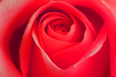 1st Chakra (ROOT) rose for reiki healing and meditation, Red colour is for the root chakra and also grounding ones self. The photo can be used in the home or office.