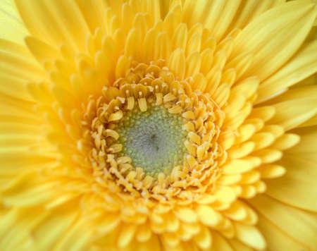 Yellow Gerbera flower centre closeup looks amazing