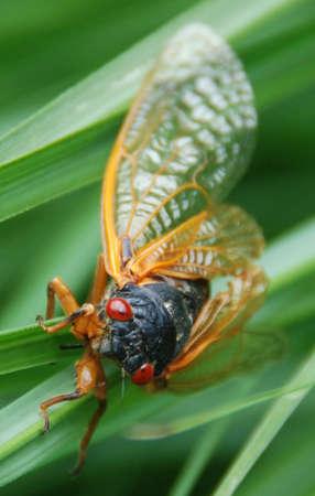 cigarra: Cicada  Foto de archivo