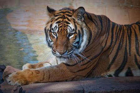 Beautiful photo of a tiger photo
