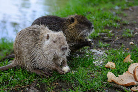 Coypu in nature with bread Stock Photo