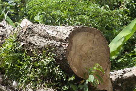 felled: Stump of a freshly cut tree
