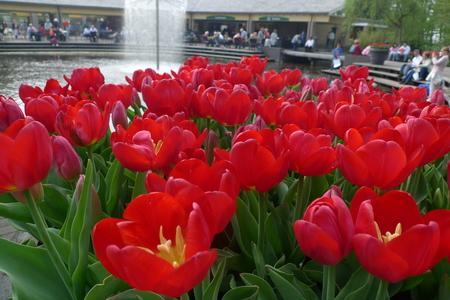 아침 햇살에 튤립의 다채로운 필드입니다. 매우 아름 다운 튤립 꽃 및 냄새 봄입니다. 화려한 튤립 정원