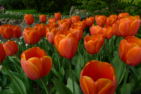 Spring beautiful tulips