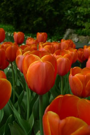 봄 아름 다운 튤립 스톡 콘텐츠