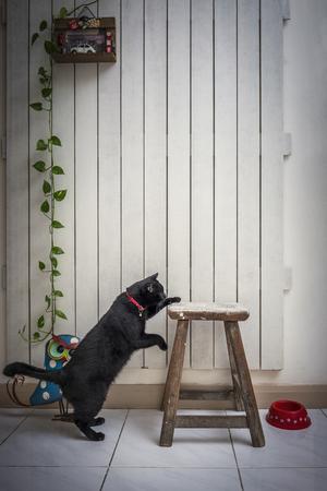 흰색 나무 배경의 글꼴로의 자에 도달하는 검은 고양이
