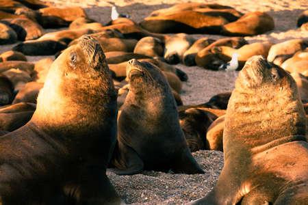 Sea lion family sunbathing on the beach in Argentina, near Comodoro Rivadavia City Zdjęcie Seryjne