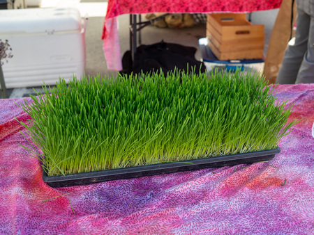 Fresh wheatgrass herbs on display for purchase at outdoor farmers market
