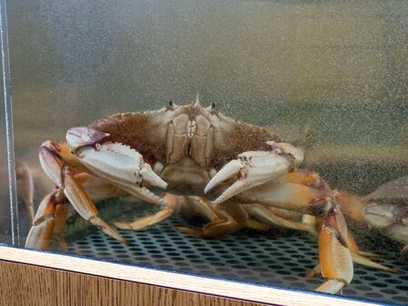 Dungeness crab at edge of water tank inside a seafood restaurant market Imagens