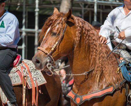 Close shot of horse with saddle and reins walking in public in parade