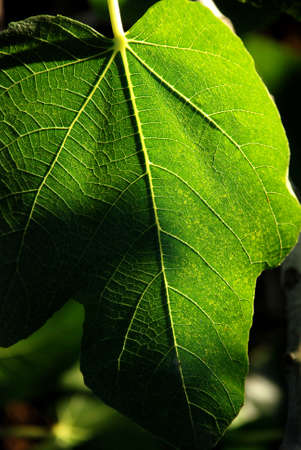 nervure: fig leaf Stock Photo