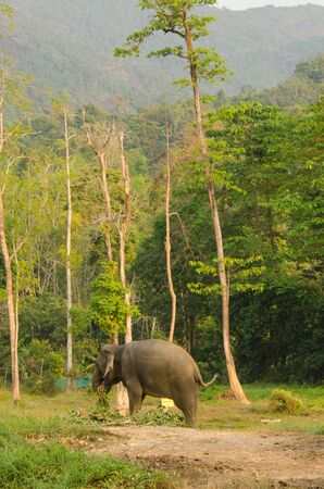 animales del bosque: An elephant nearby the forest