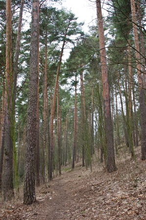 conifers: Forest of conifers